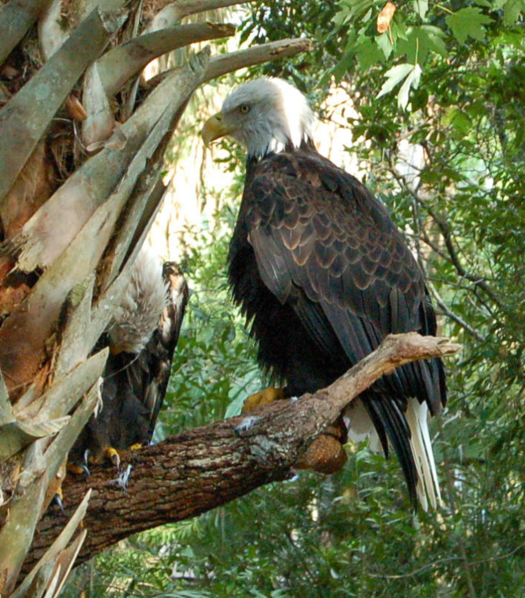 Bald Eagle at Brevard Zoo