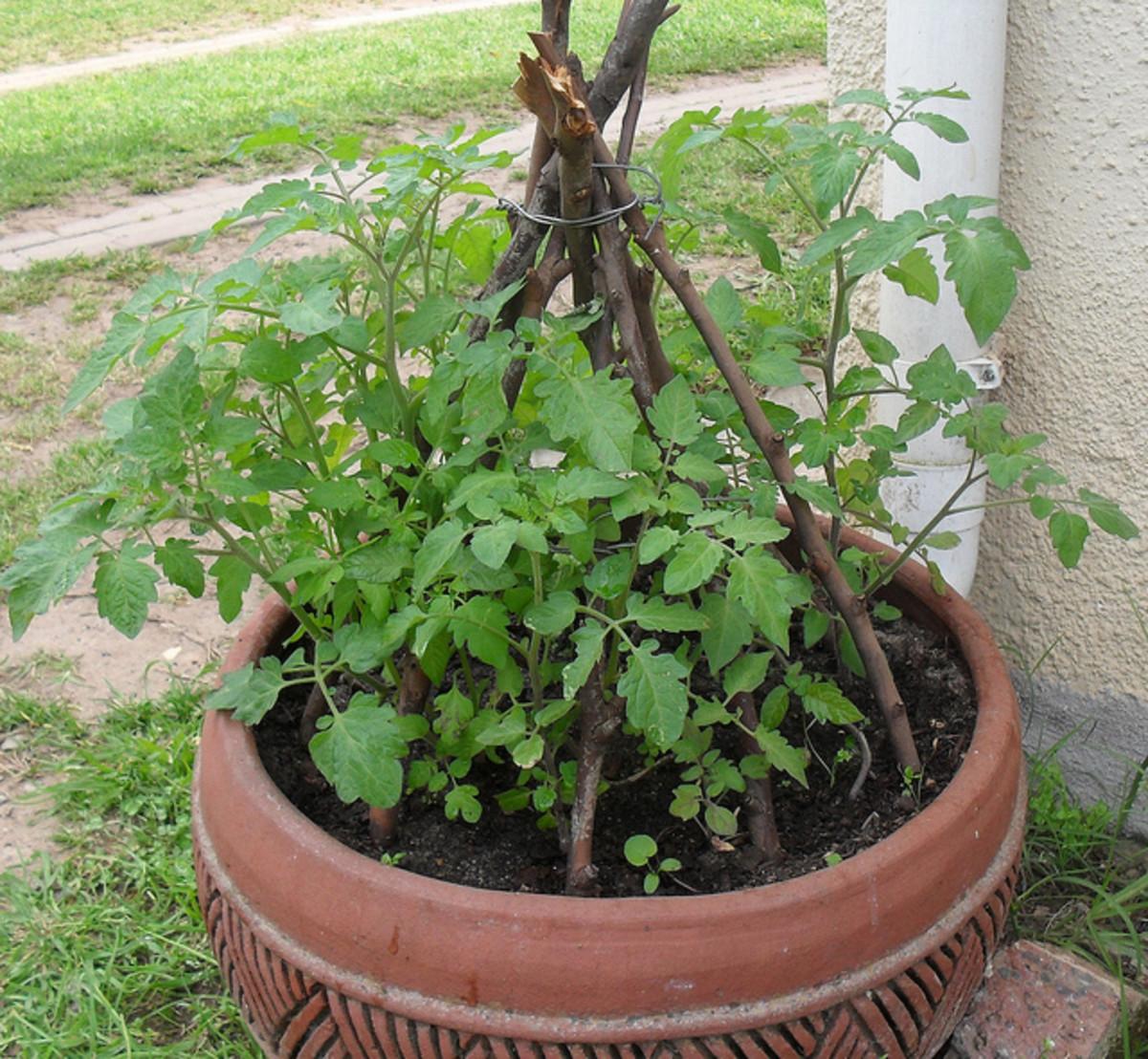 cherry-tomatoes-container-gardening