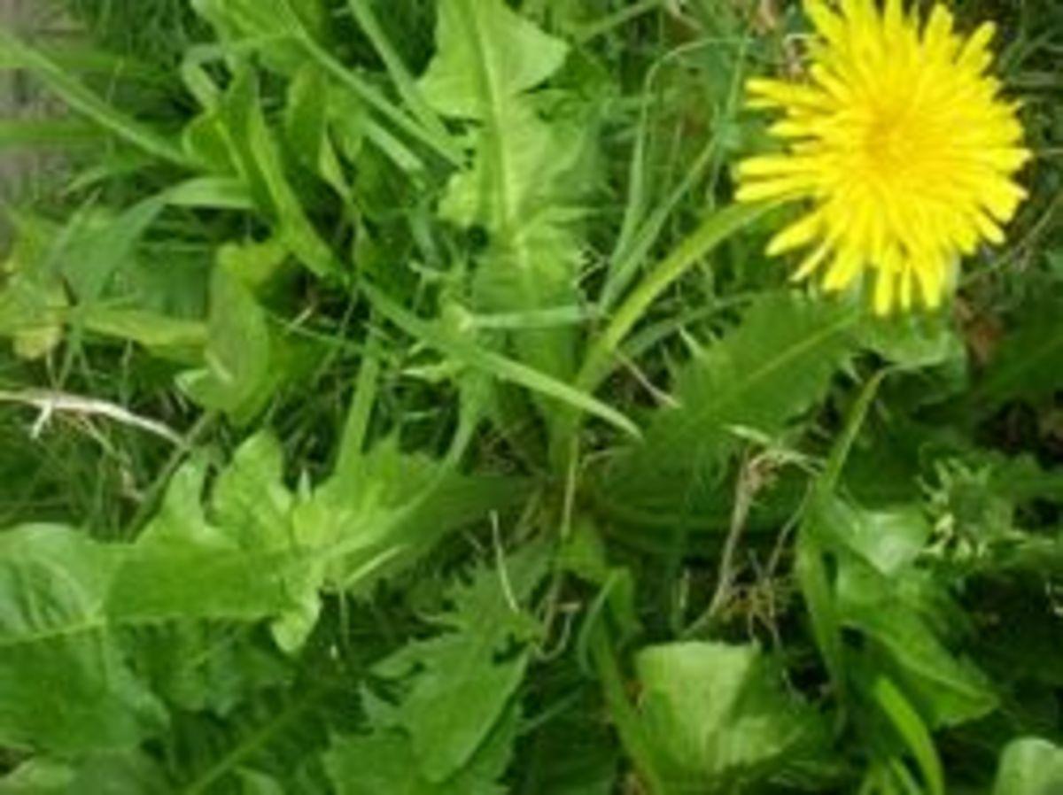 Dandelion plant