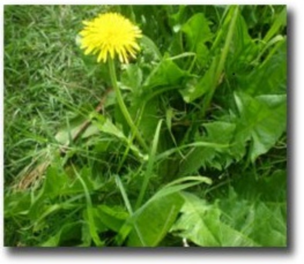 How to identify dandelion