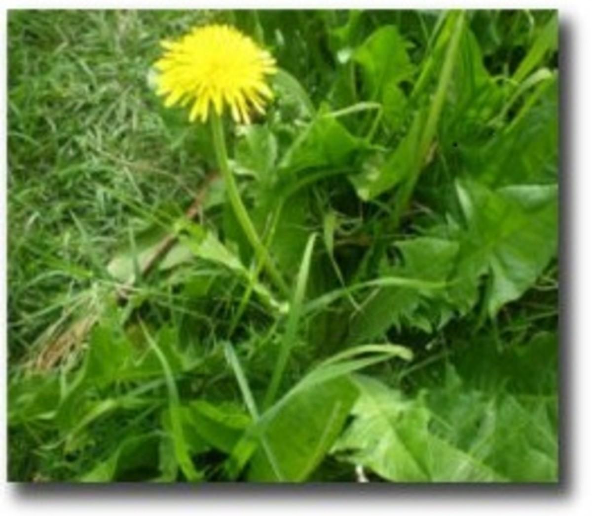 how-to-identify-dandelion