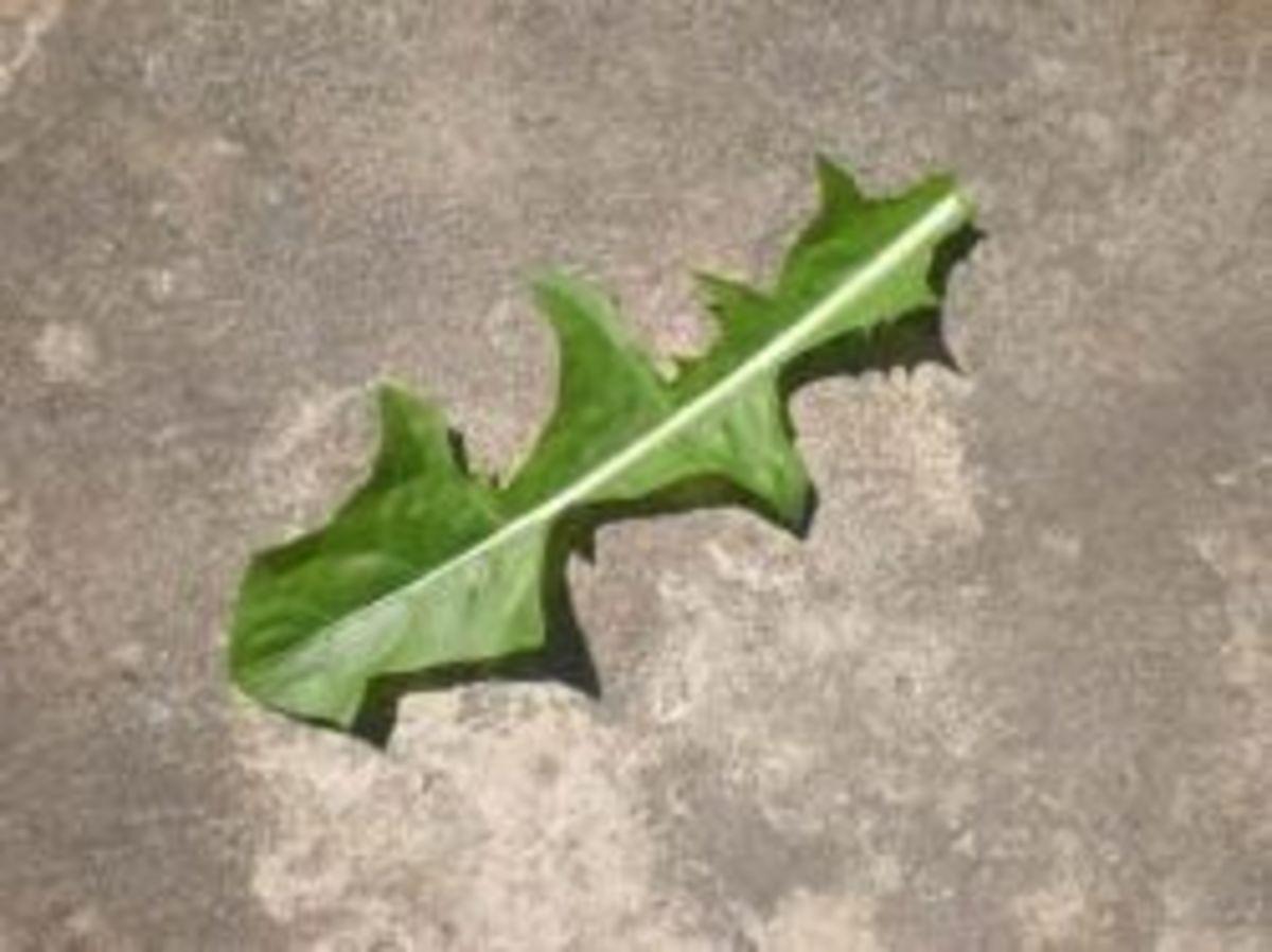 Dandelion leaf - front