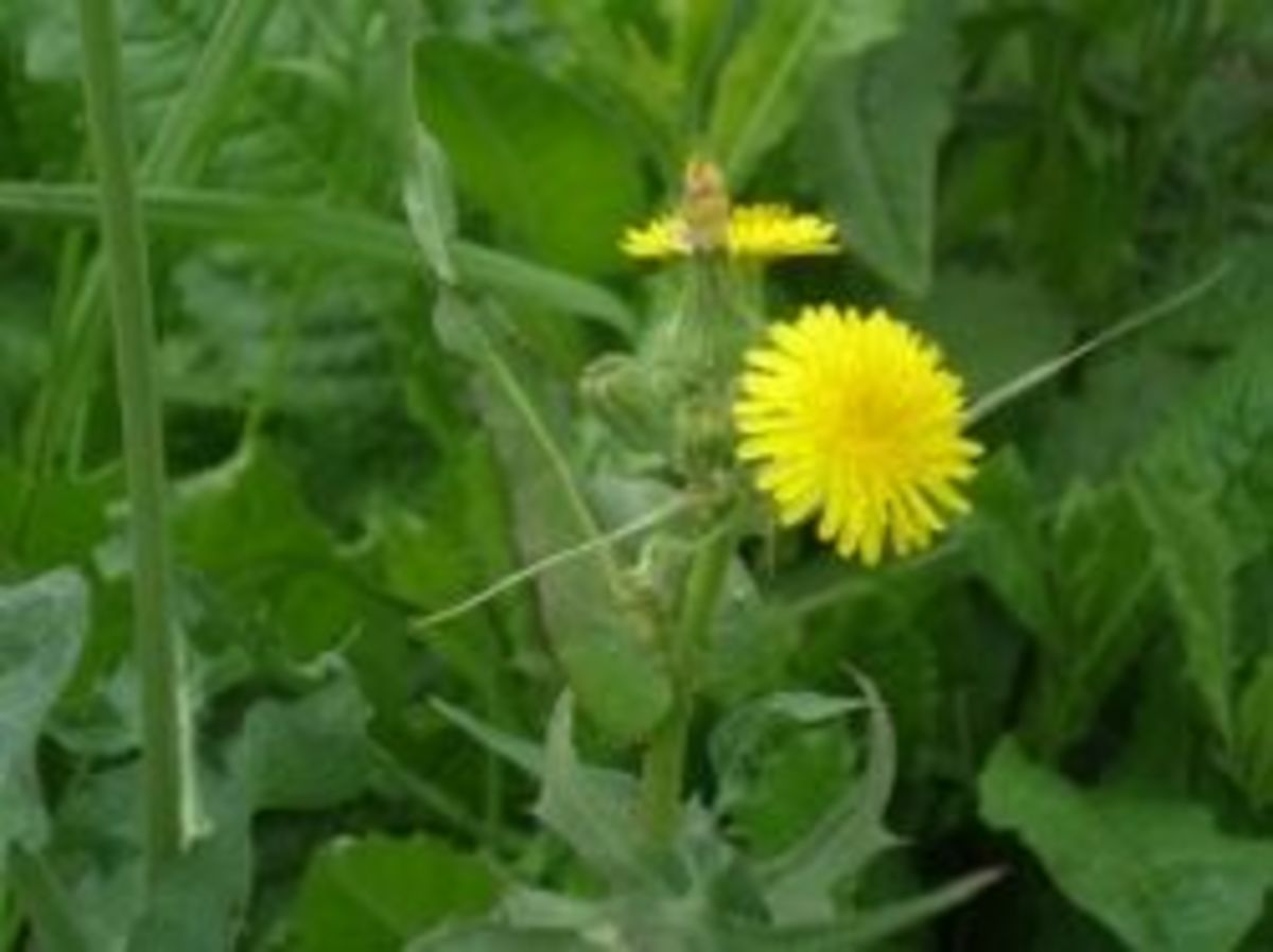 Sow thistle flower