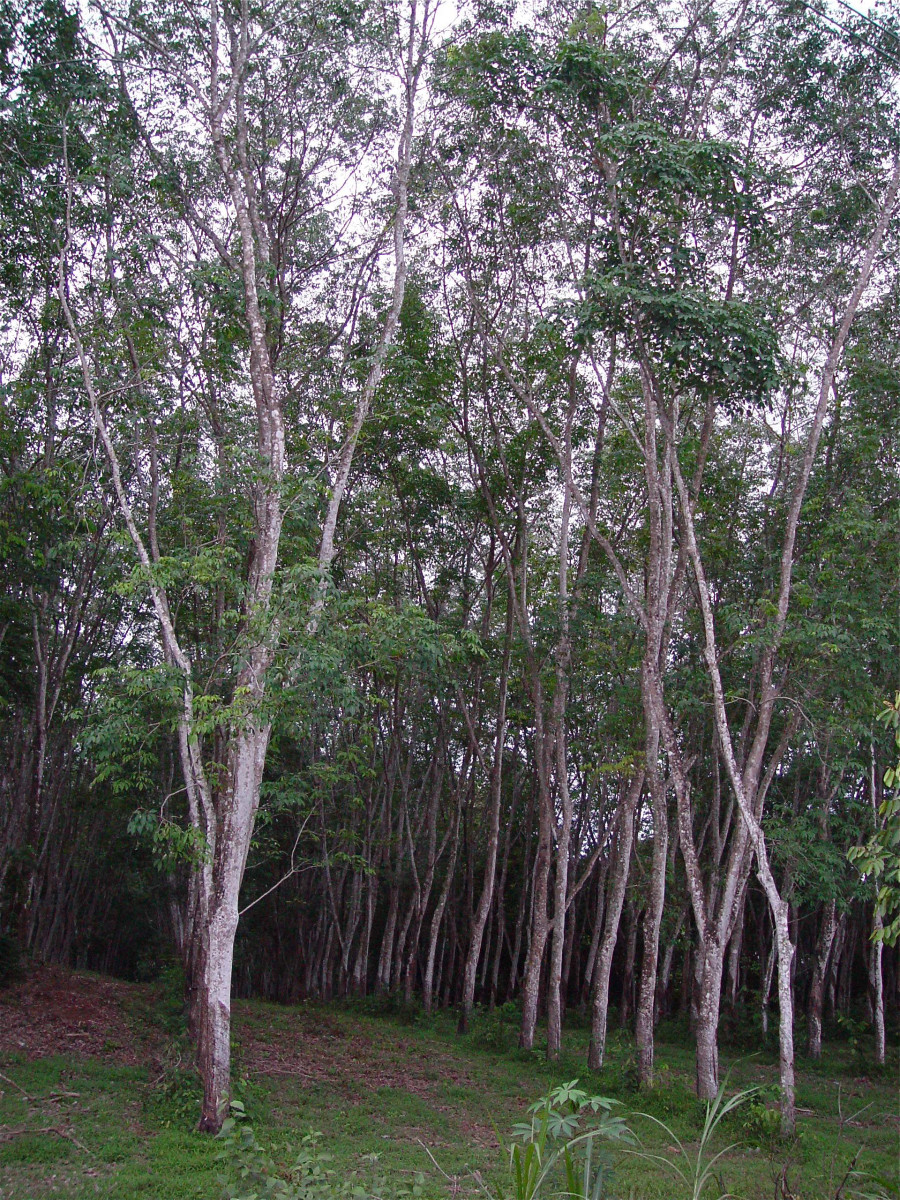 A Para rubber tree plantation