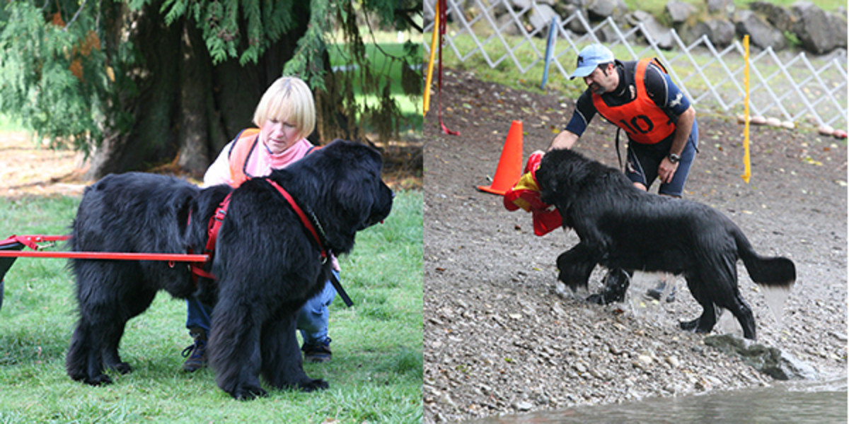 water and draft work with Newfoundlands