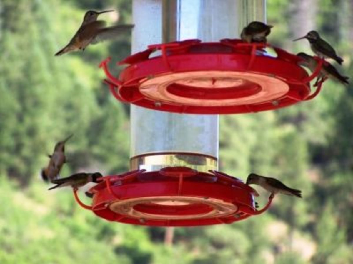 Hummingbirds at the feeders
