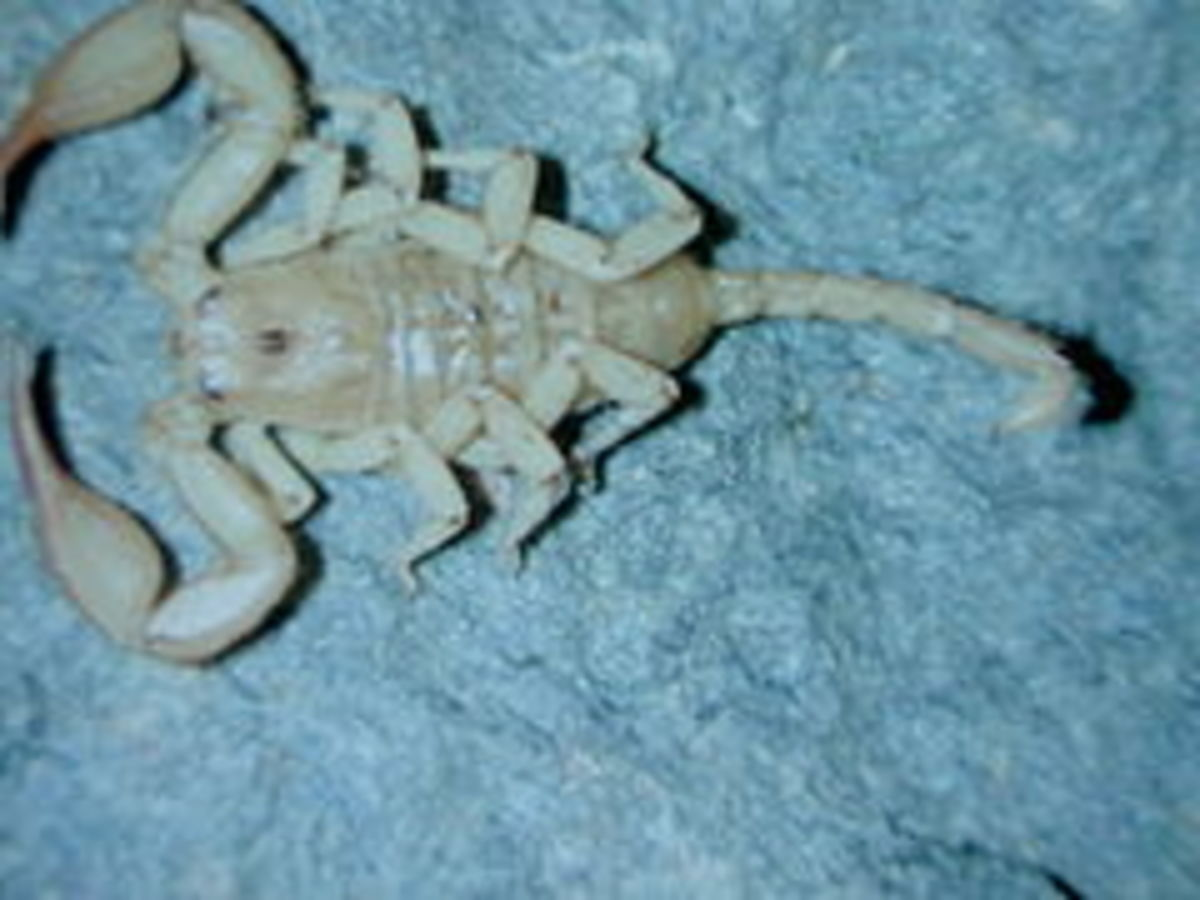 """This Central European scorpion can tolerate very low temperatures, and is often referred to as a """"wood scorpion."""""""