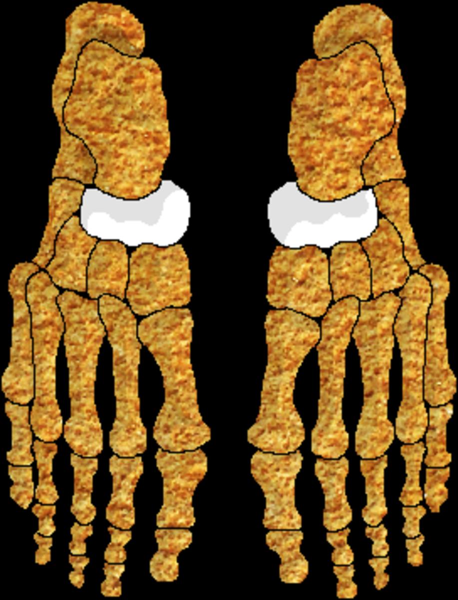 The navicular bones