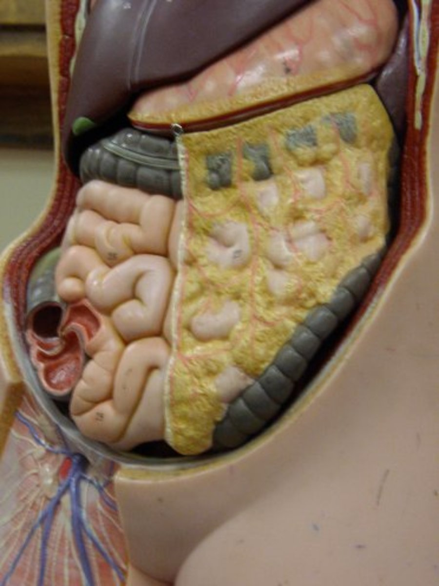 Greater Omentum ( Cut away on the left partially to reveal the intestines)