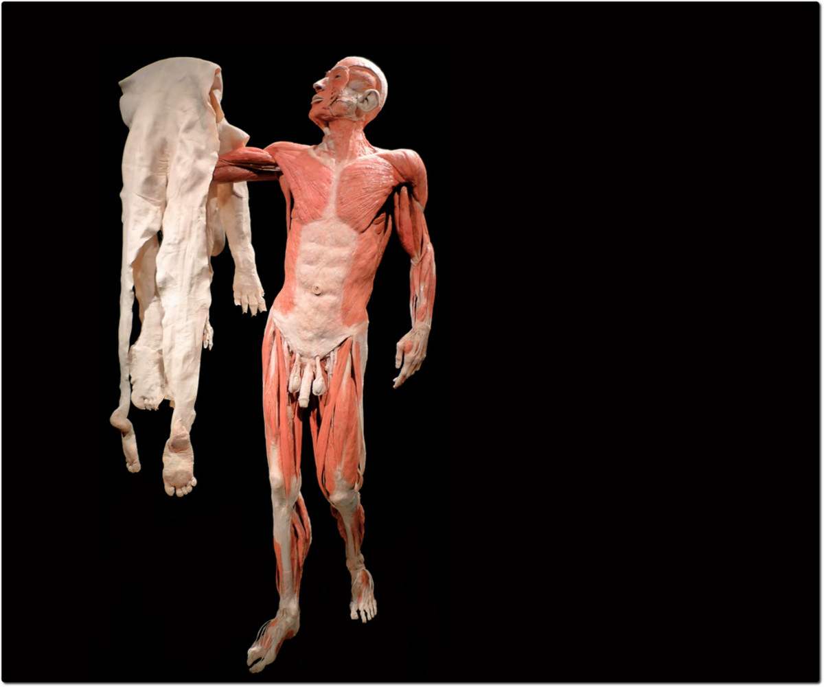 Controversial Dutch anatomist Gunther Van Hagens has reproduced Vesalius' artistry with his own plastinated cadavers- The Skin Man