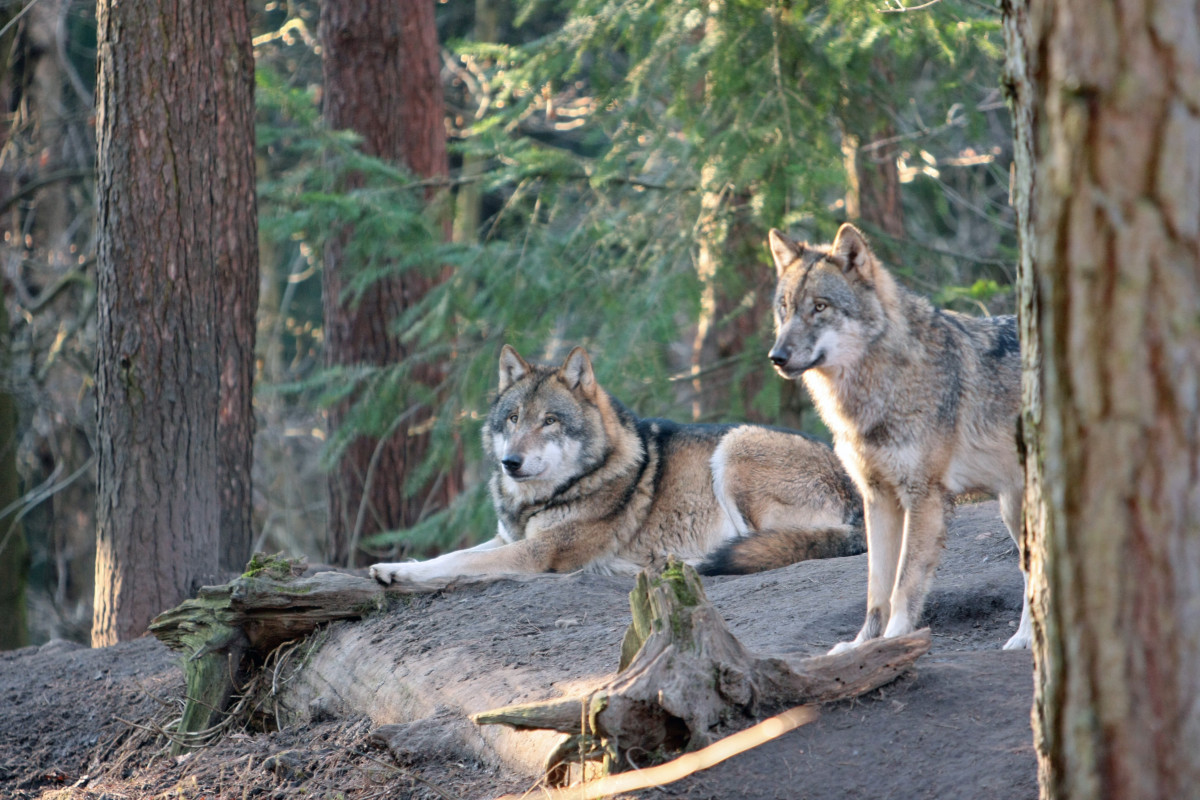 True hybrid dogs are the offspring of a domestic dog and another species, like a wolf or coyote.