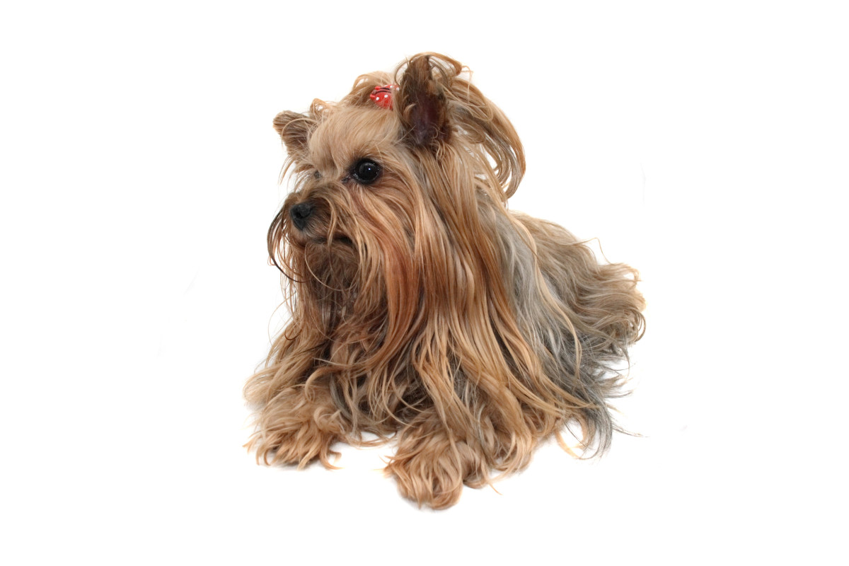 Yorkshire terriers are often used to create designer dogs.