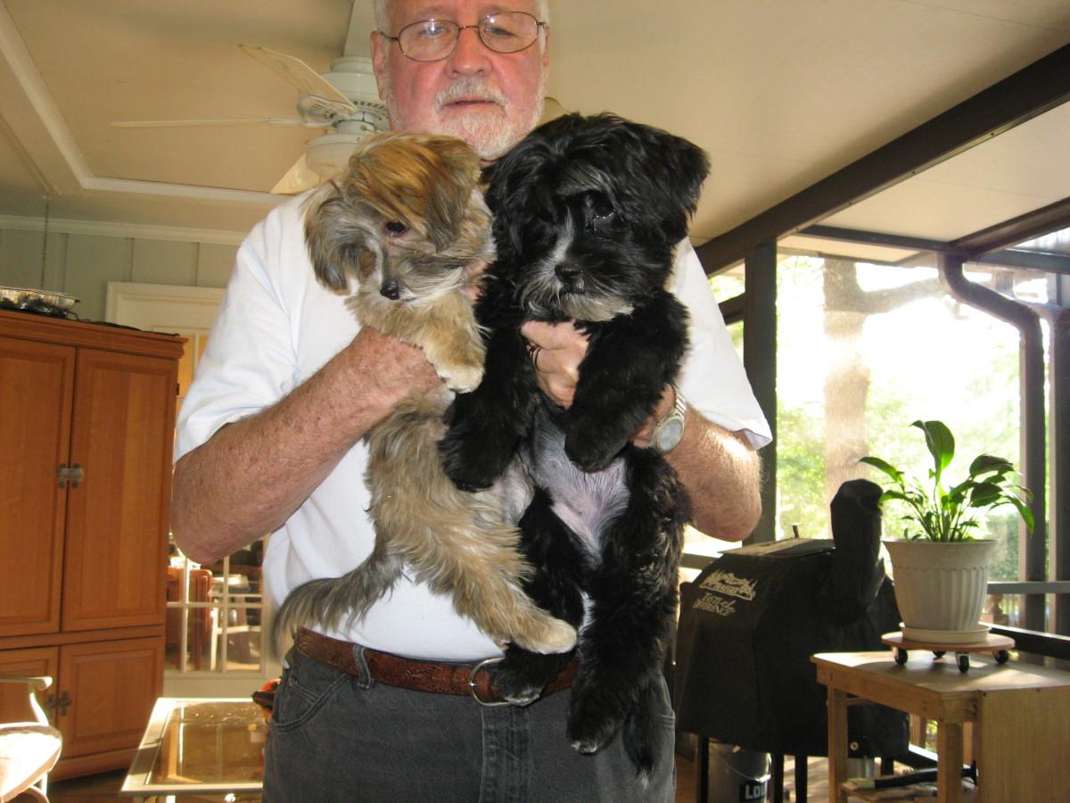 Designer Dog Breeds: Shorkies