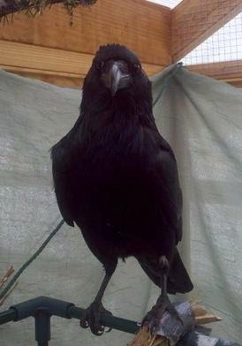5 Reasons Ravens Are Super Smart Birds