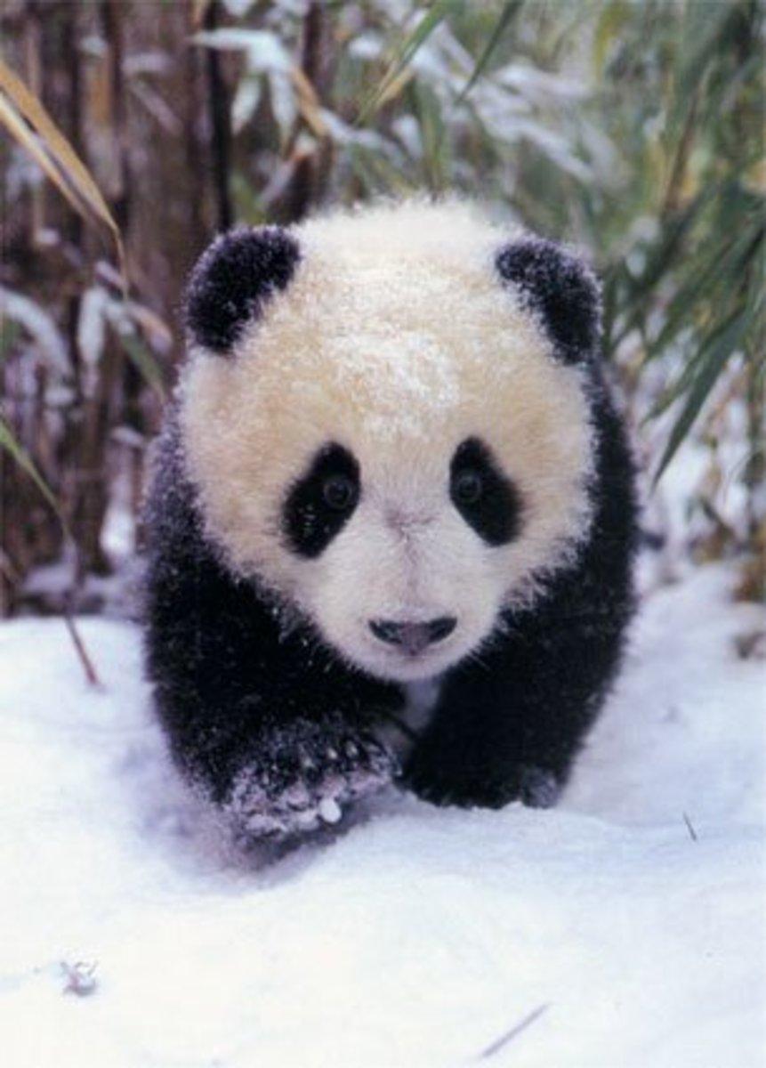 パンダ - Panda