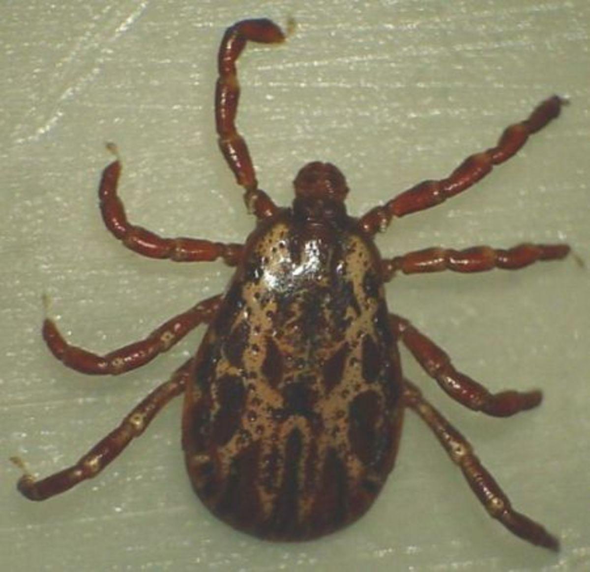 tick-identification