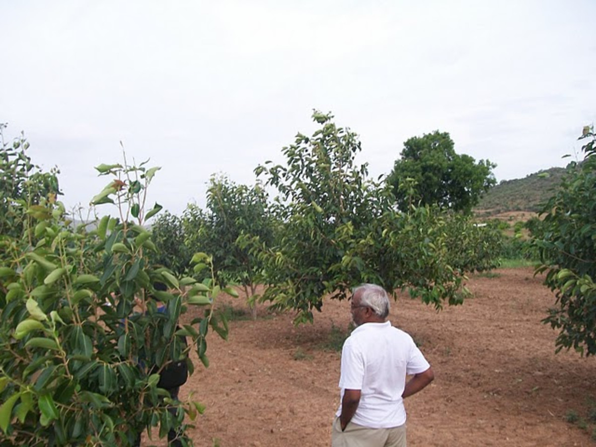 A view of jamun cultivation