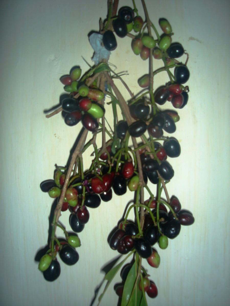 Ripe & Unripe jamun fruits