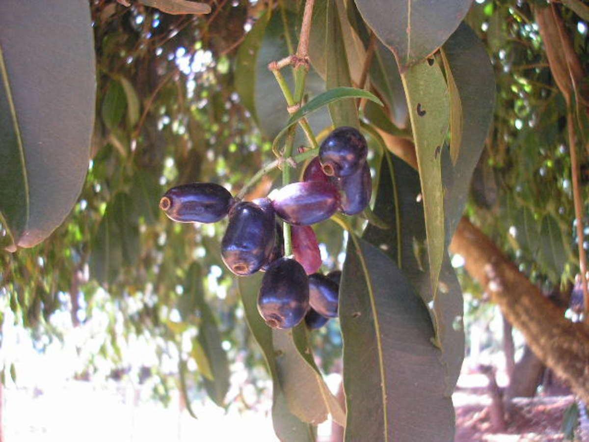 Ripe jamun fruit on the tree