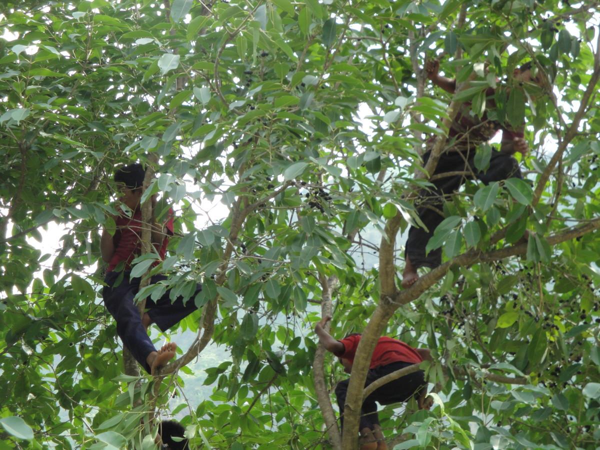 children plucking jamun fruit.