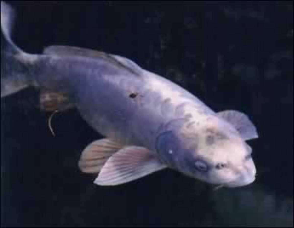 Matsuba Koi - The fish with a human face