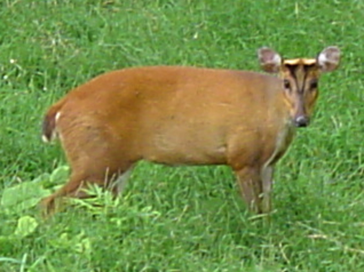Muntjac Deer – UK Invasive Species