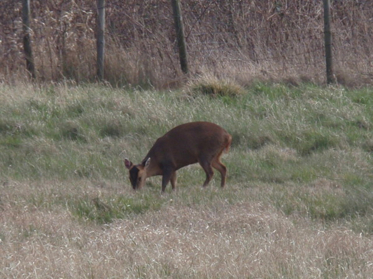 Muntjac deer in the English countryside