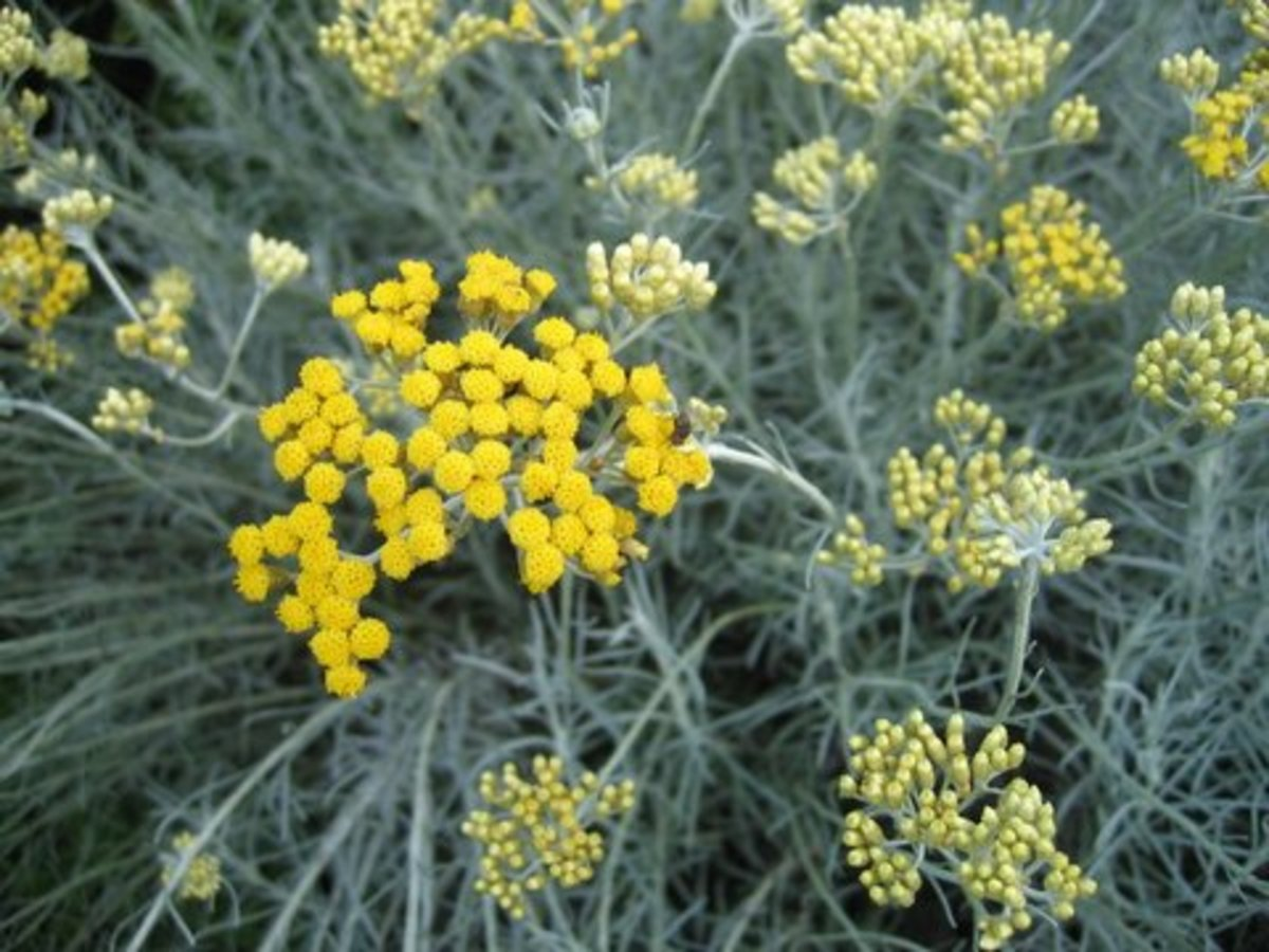 helichrysum angustifolium (curry plant)