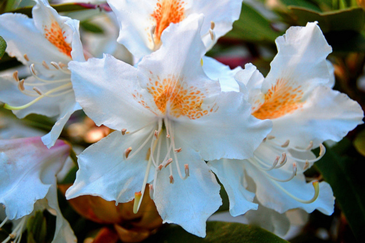 howtogrowandcareforrhododendrons