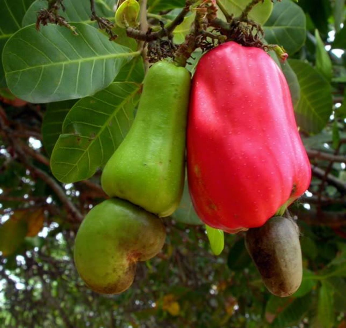A young cashew fruit and a ripe one.