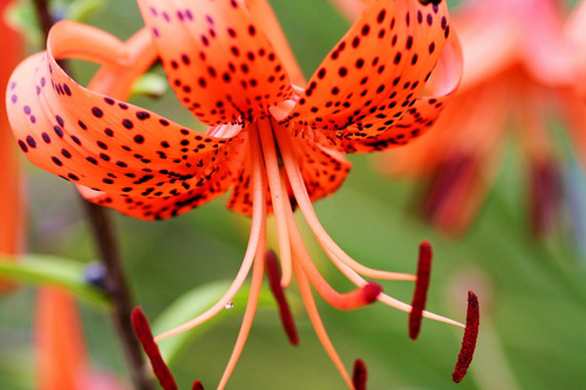 Tiger lily, Tiger lilies—Lida Rose (Flickr.com)