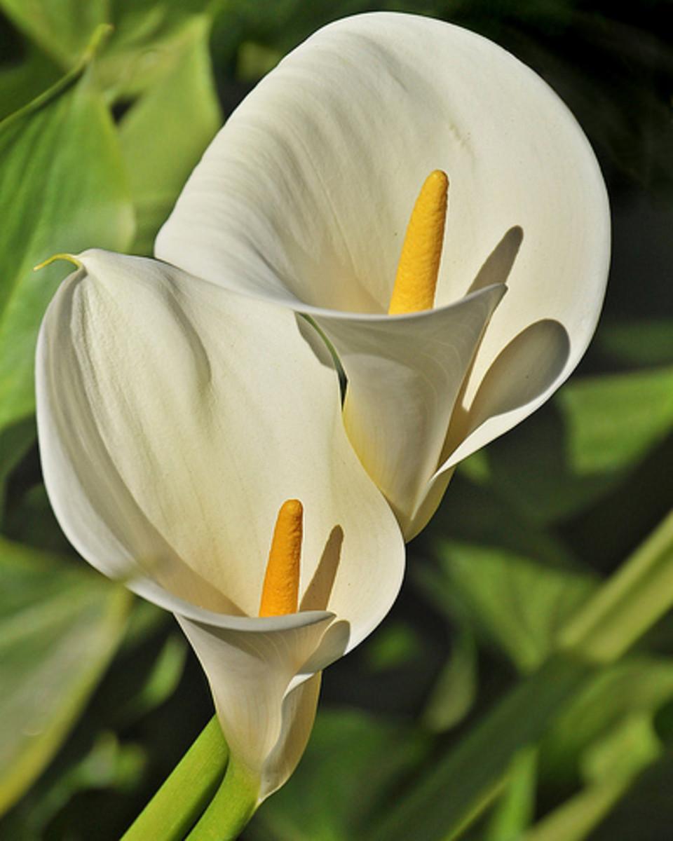 Calla lilies, Calla lily duo—wolfpix (Flickr.com)