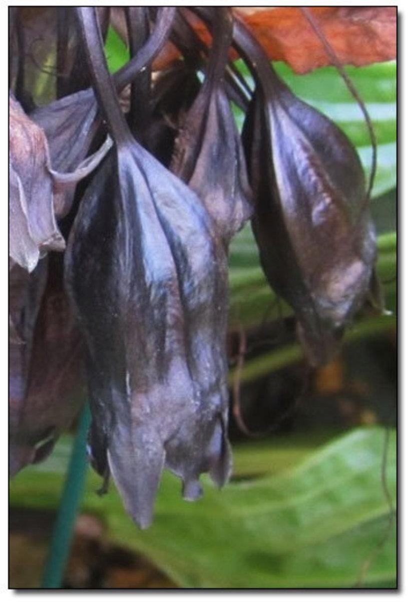 Closed Bat Flower