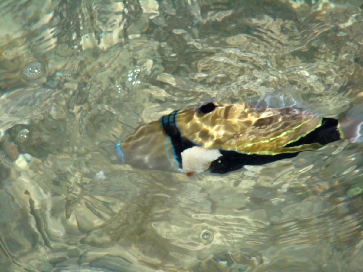 the-humuhumunukunukuapuaa-hawaiis-state-fish