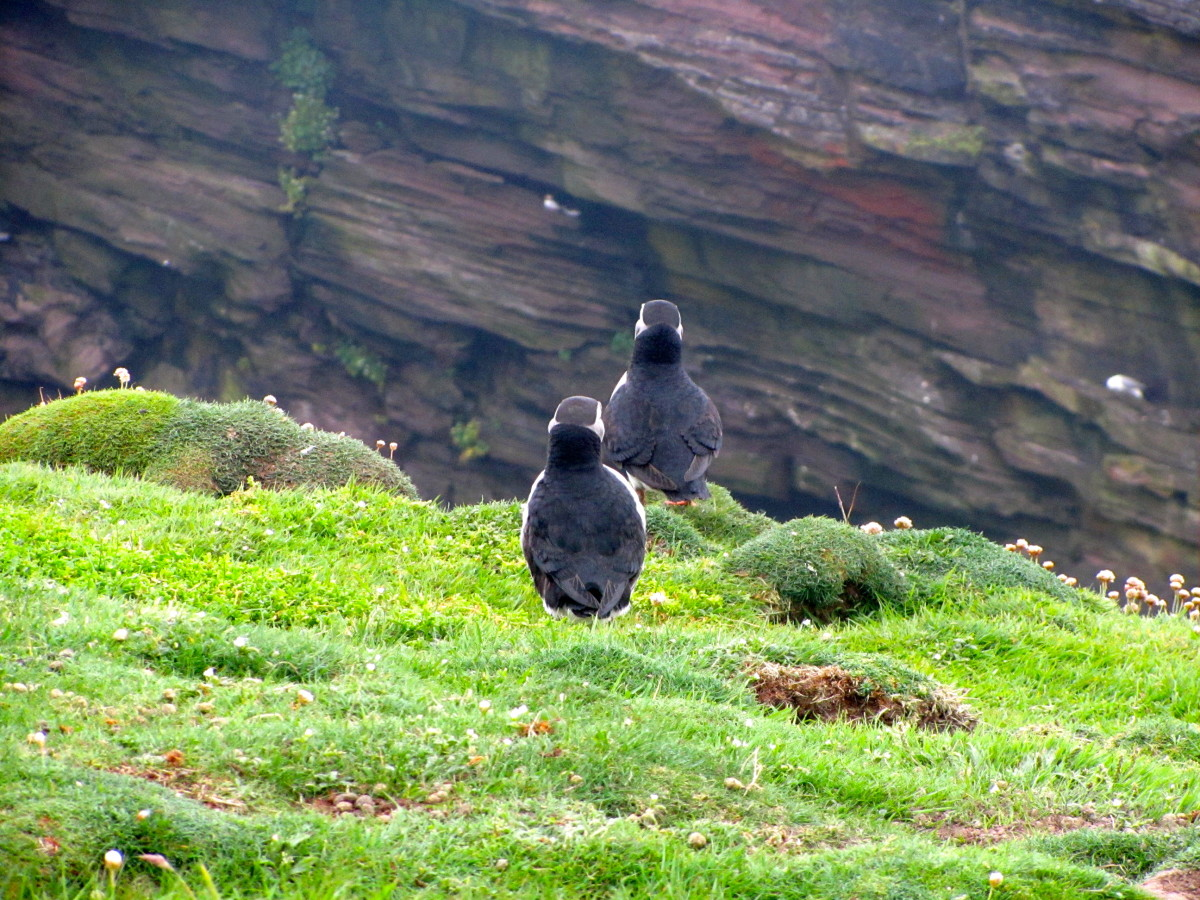 facts-about-puffins-and-sand-eels