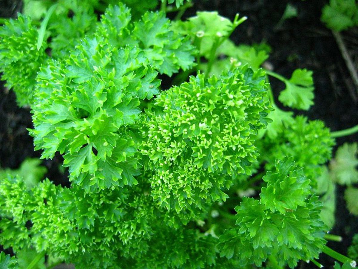 Parsley is a common culinary herb that also has magical associations.