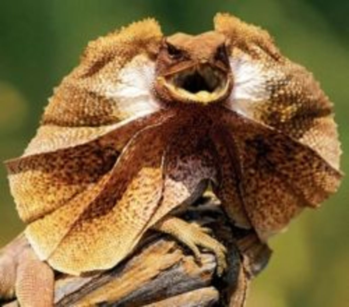 This frilled lizard strikes fear into his enemies - just like you!