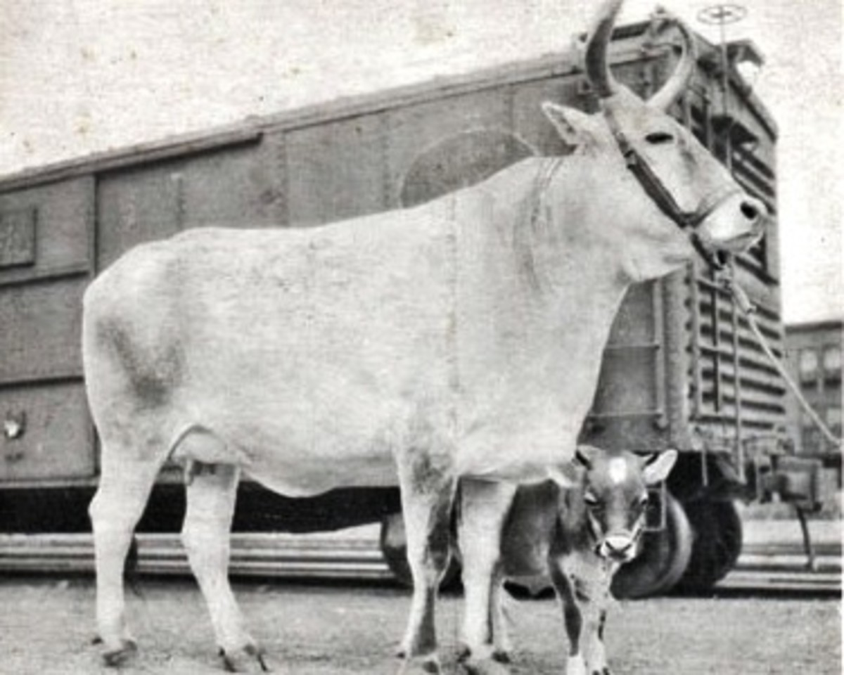 Largest Cattle