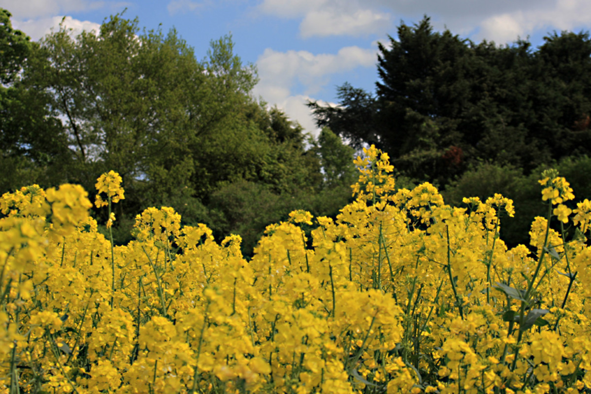 Oilseed rape with a hedgerow of wild plants and trees bordering the field (Photo 2)