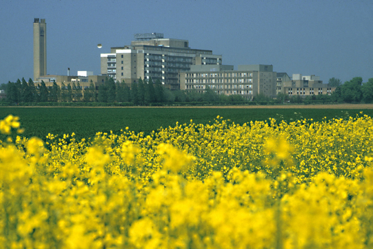 A Field of Rape. Addenbrooke's Hospital in Cambridge - one of the biggest and most prestigious hospitals in Europe - stands in the background