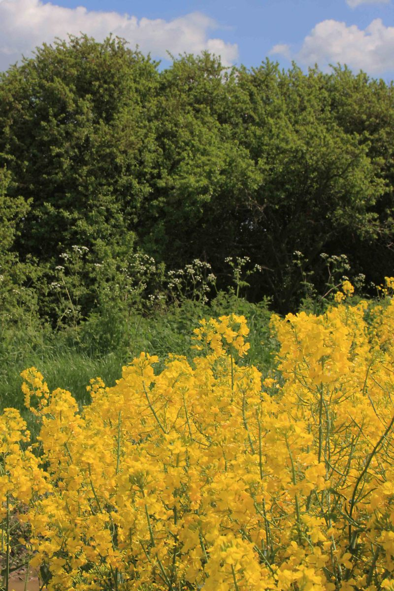Oilseed rape with a hedgerow of wild plants and trees bordering the field. (Photo 1)