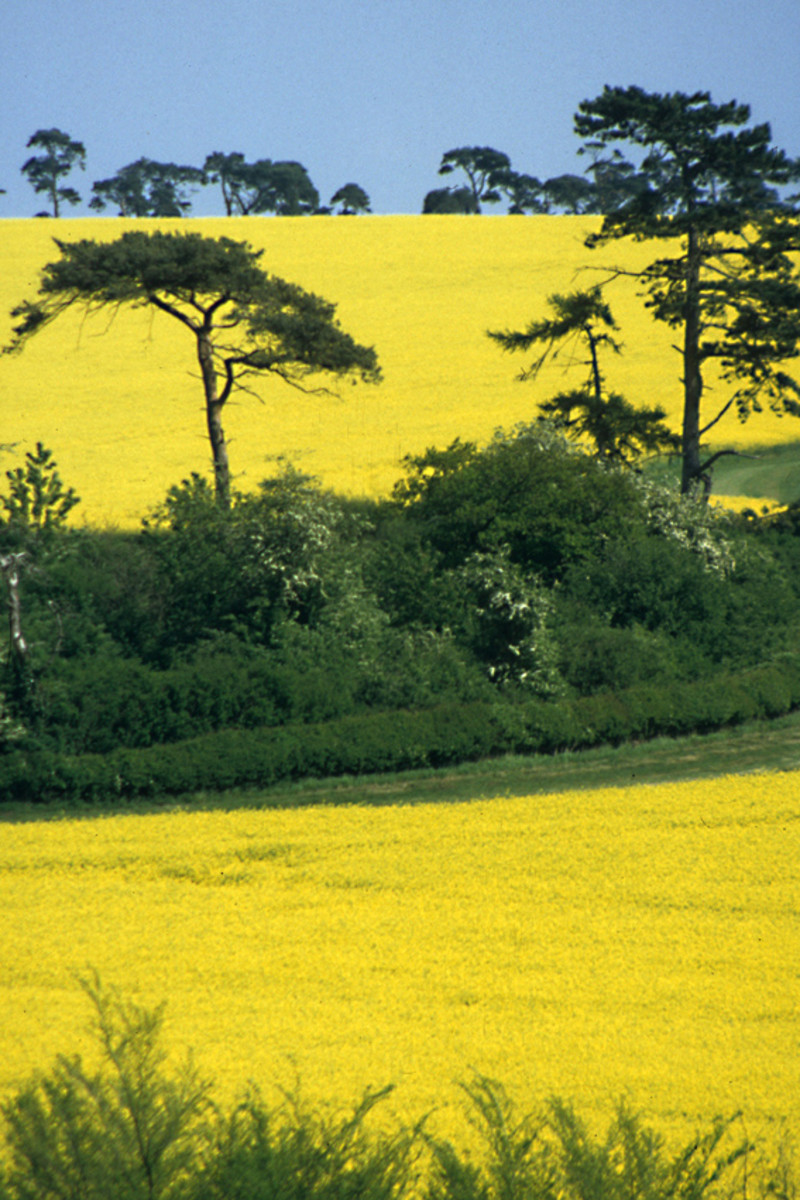 A Pictorial Essay on Rapeseed and Canola