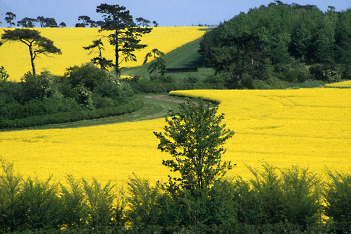 Fields of oilseed rape in the county of Cambridgeshire
