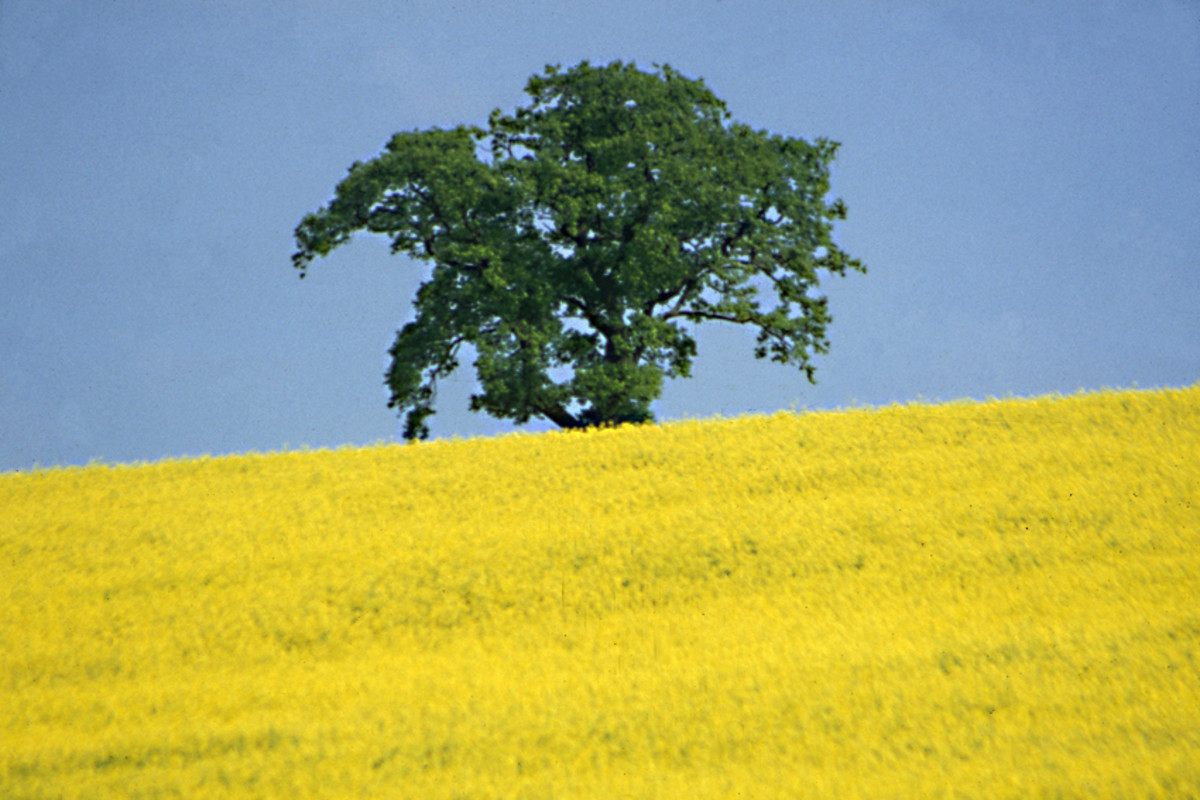 A solitary tree stands beyond a rape field in Cambridgeshire