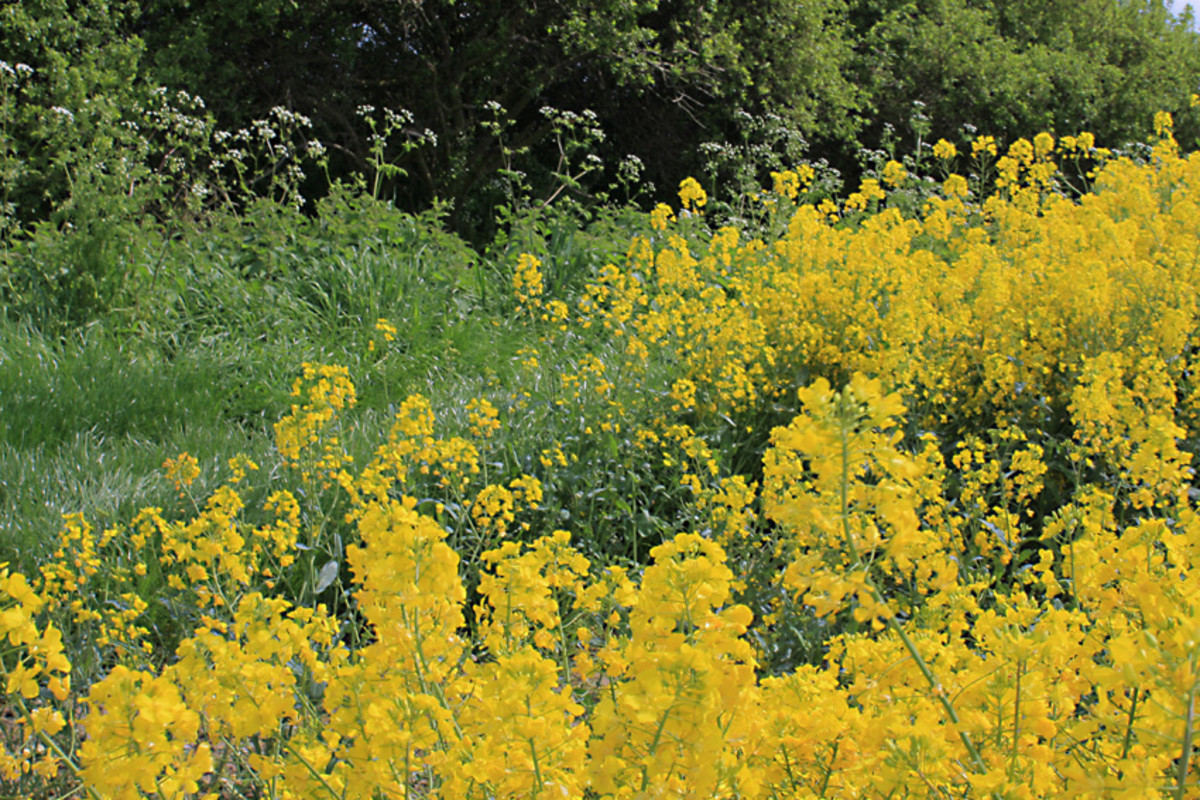 Oilseed rape with a hedgerow of wild plants and trees bordering the field (Photo 3)