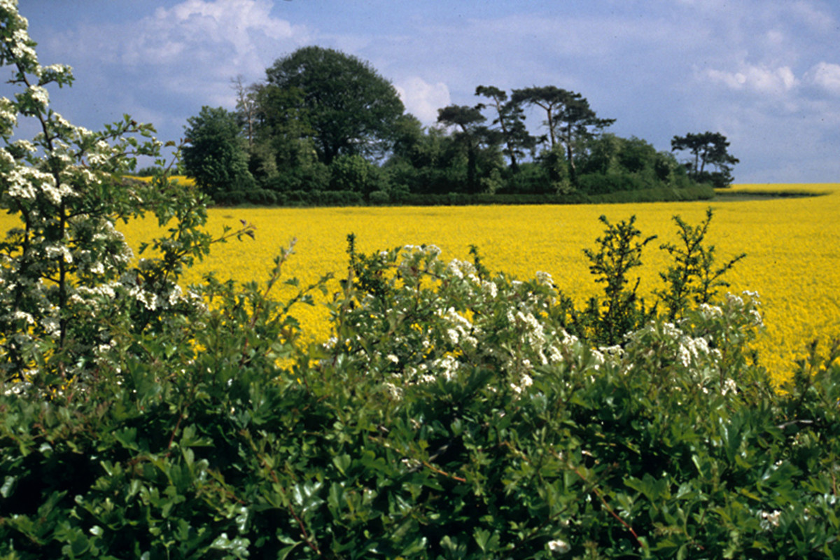 Oilseed rape - for good or bad, the crop today is every bit as much a part of the English countryside as the trees, the hedgerows and the wild flowers
