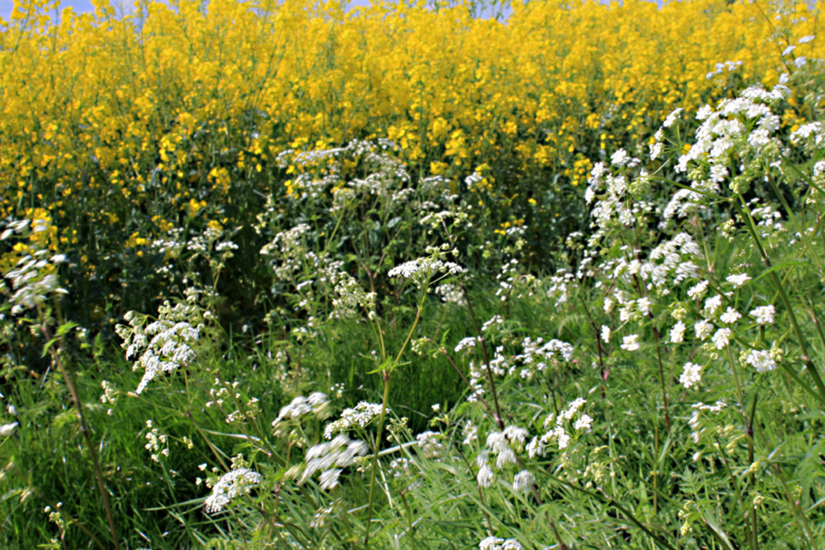 The white of the common farmland weed Cow Parsley (Anthriscus sylvestris) growing alongside a field of yellow Oilseed Rape (Brassica napus)