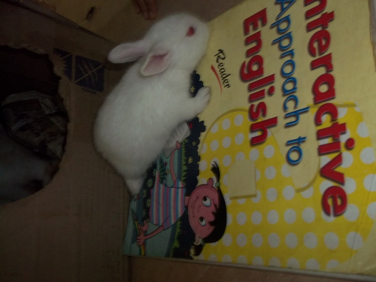 My son tried to teach him alphabets after seeing some funny number recognising activity by an elephant in the local circus. But our rabbit failed to learn English. It was a sort of embarrassment for my son