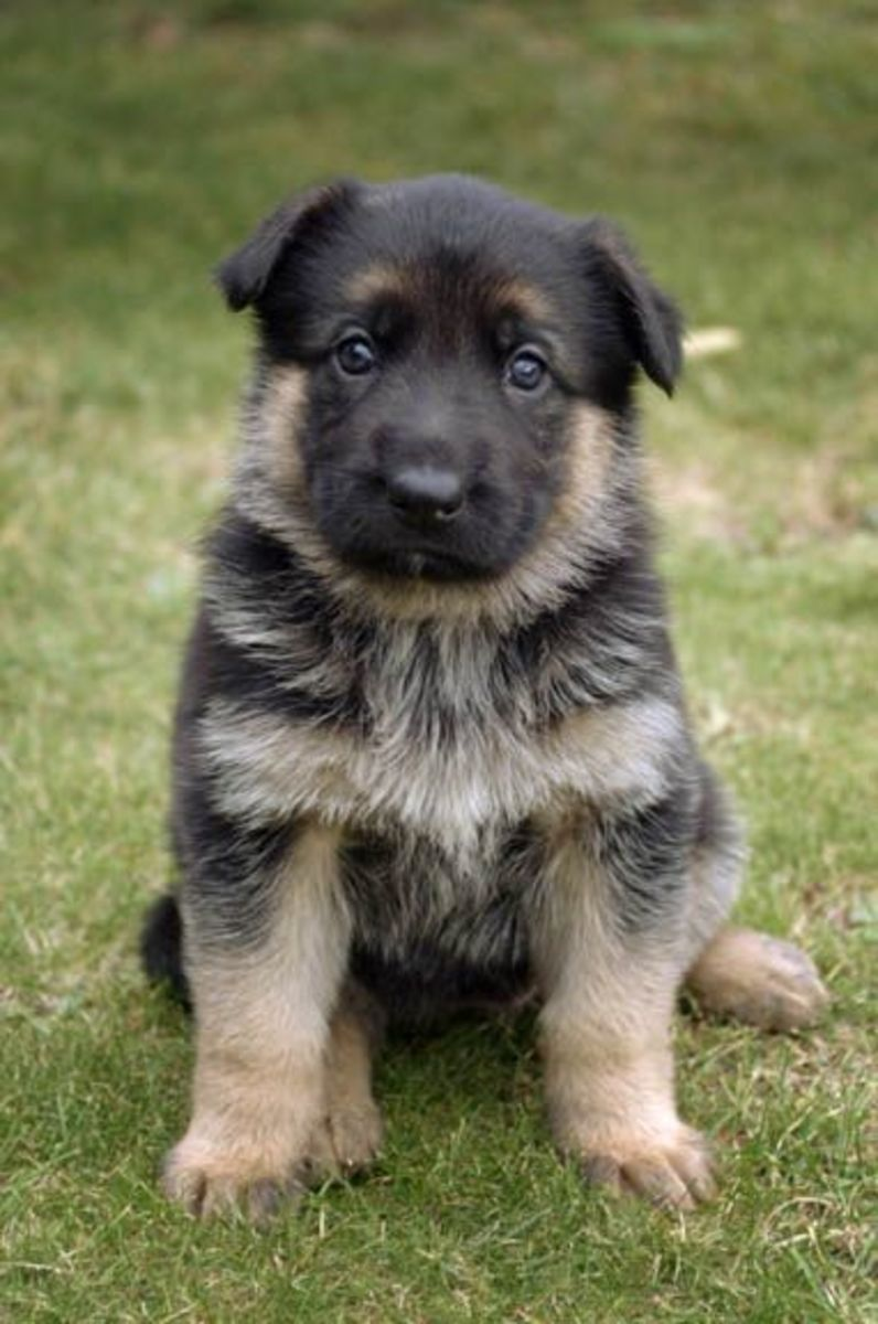 Interesting Facts about German Shepherds