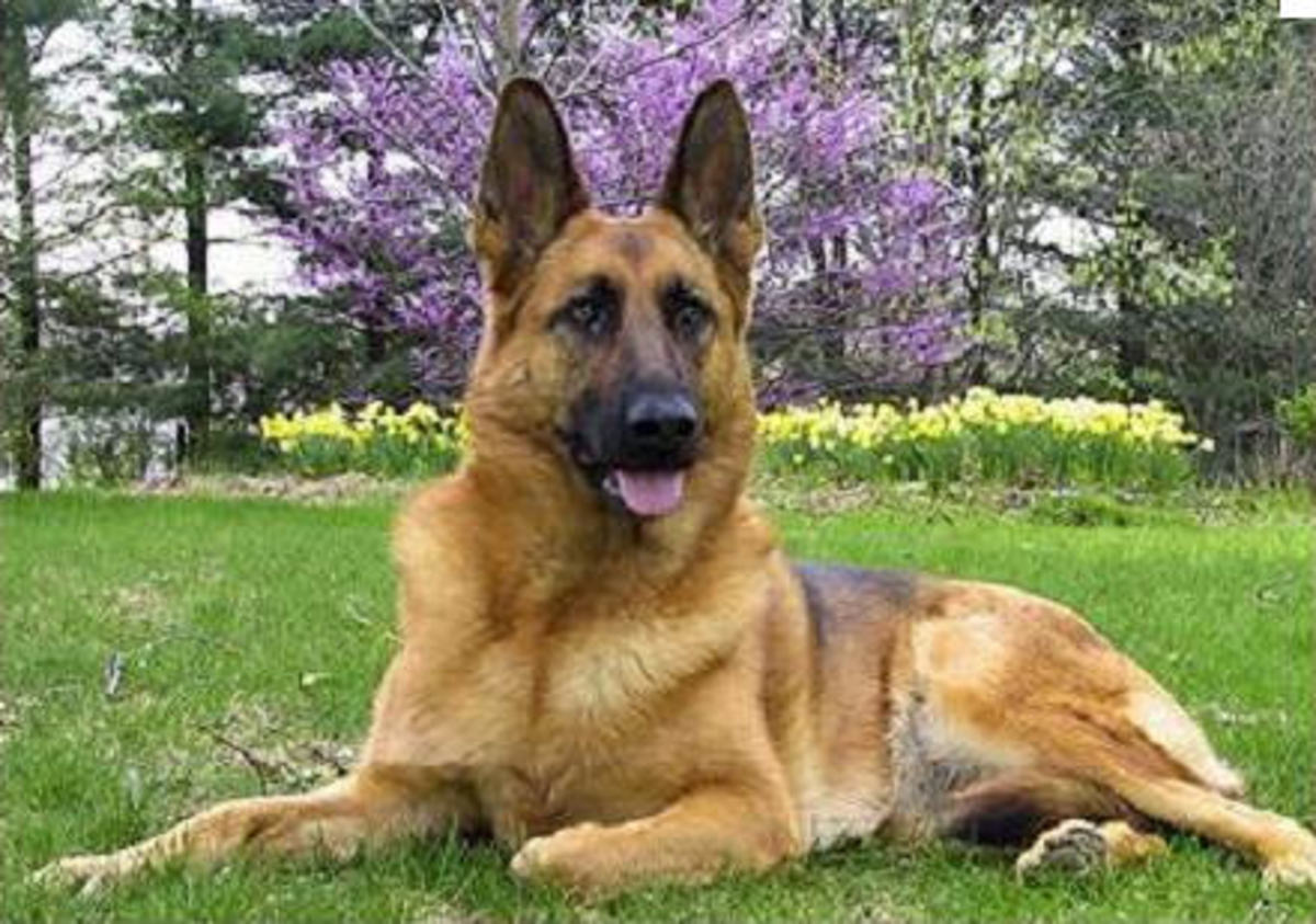 An adult German Shepherd